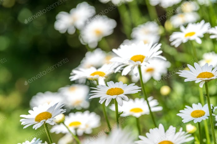 Field of Daisies, camomile