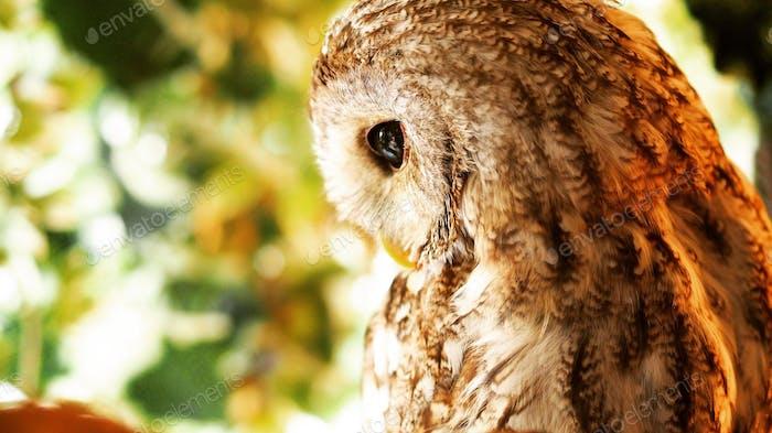 Emo owl