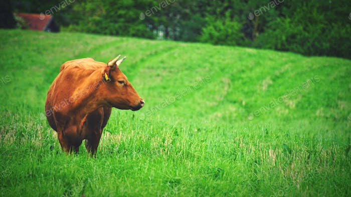 A cow looking away