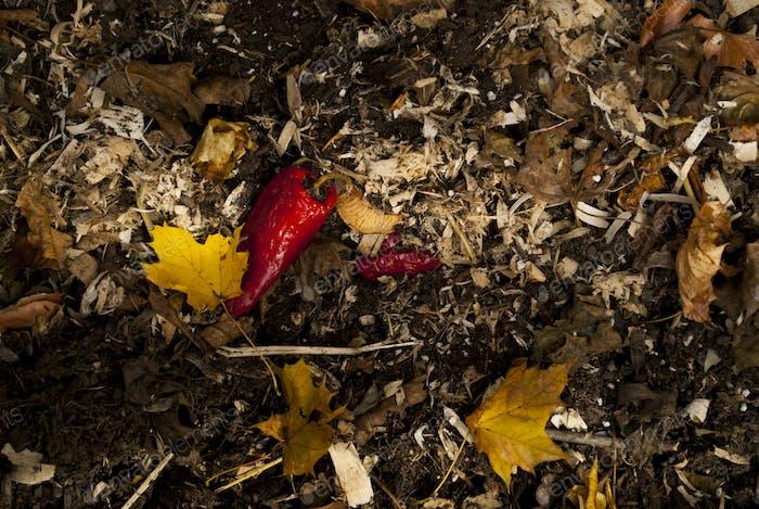 Pepper in a compost heap