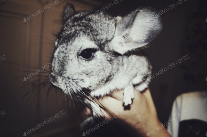 Fluffy Chinchilla