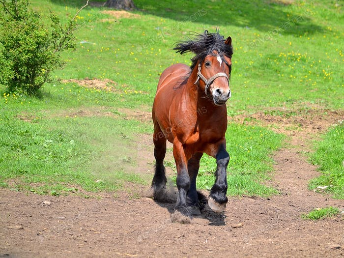 Horse gallopping