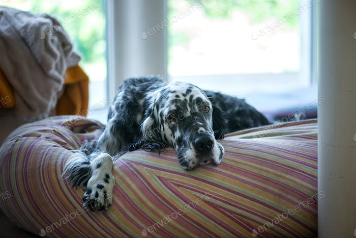 Dog english setter laying down,portrait,black and white,face,had,eyes,serious,sad,home,lifestyle