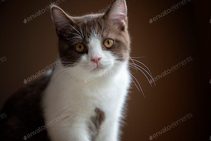 Cute british shorthair cat kitten isolated on gray background