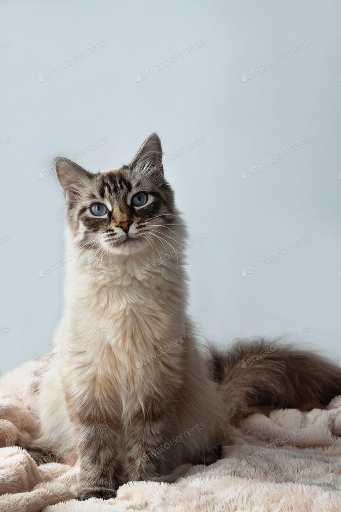 Furry kitten of seal lynx point color with blue eyes is sitting on a pink blanket and gray