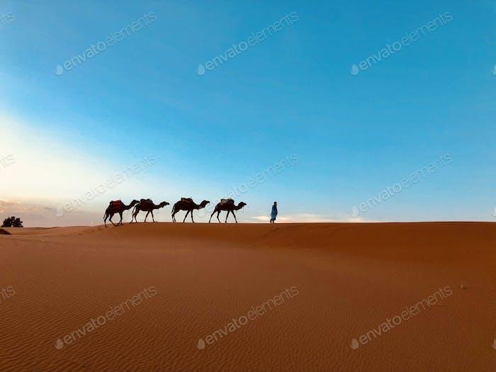Camel silhouettes in Sahara desert