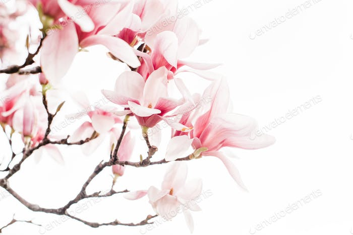 High-key magnolia