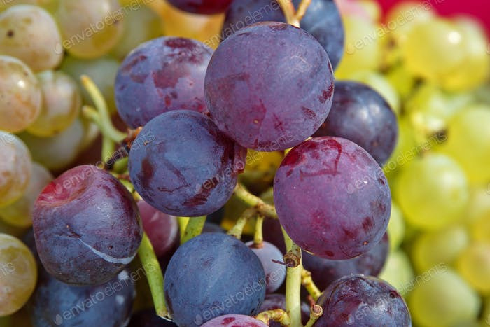 Closeup of grapes in vineyard during harvest
