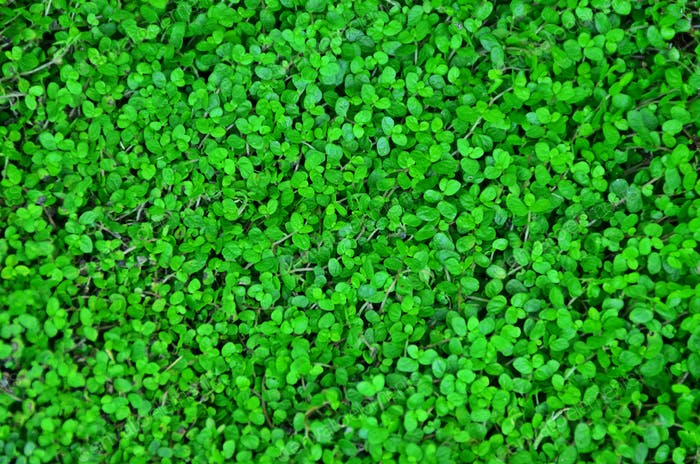 Natural green clover background, colorful nature