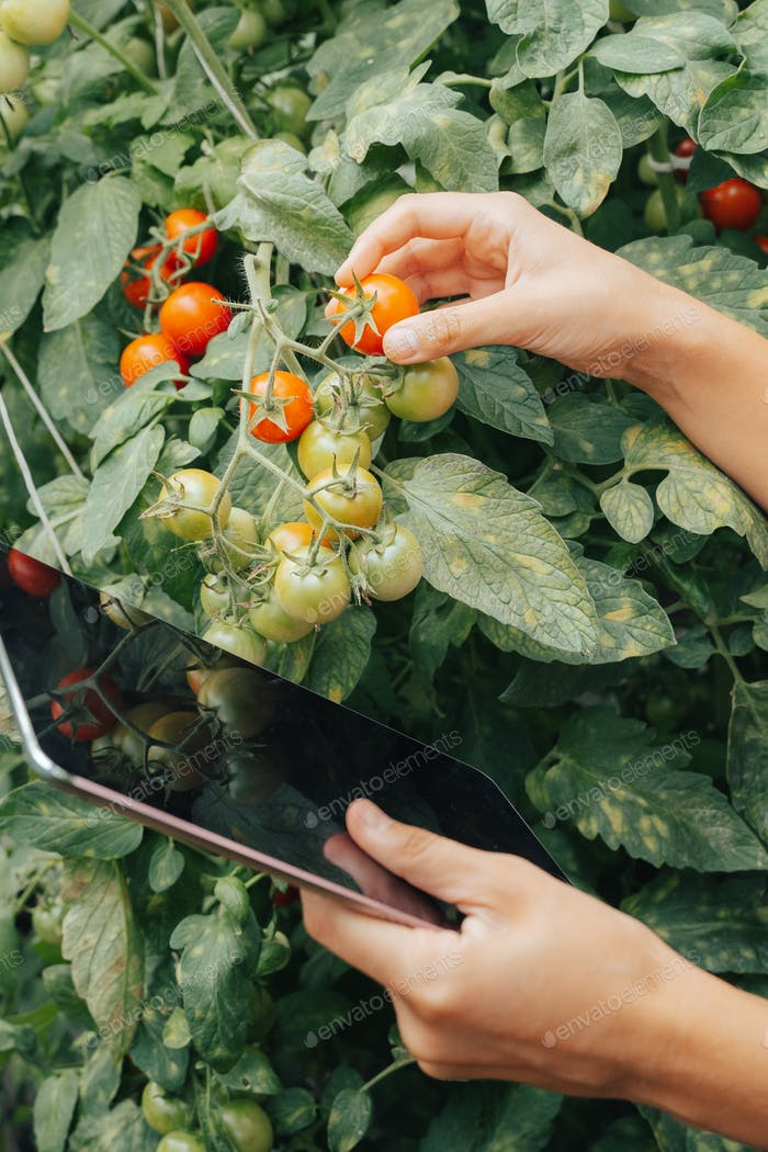 Farmer woman quality inspector holding tablet collecting data in greenhouse checking quality tomato