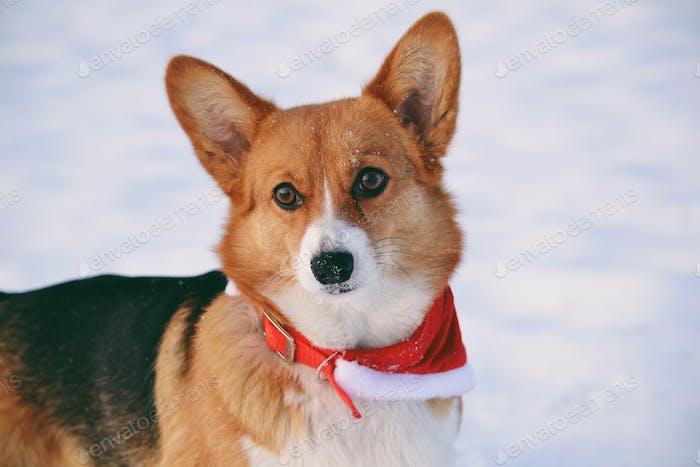 Cute dog in christmas scarf