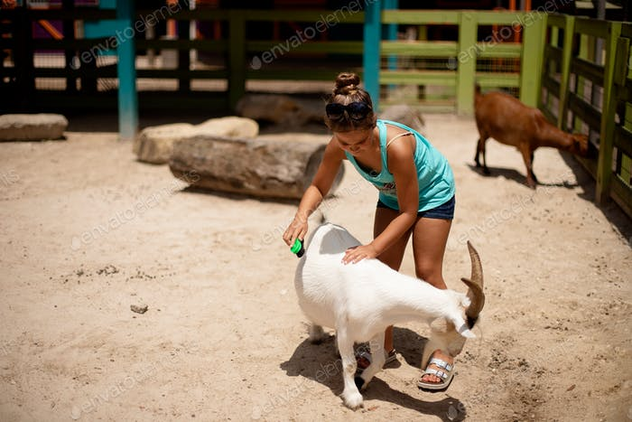Combing a goat at the zoo