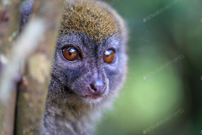 Coconut Lemur Madagascar