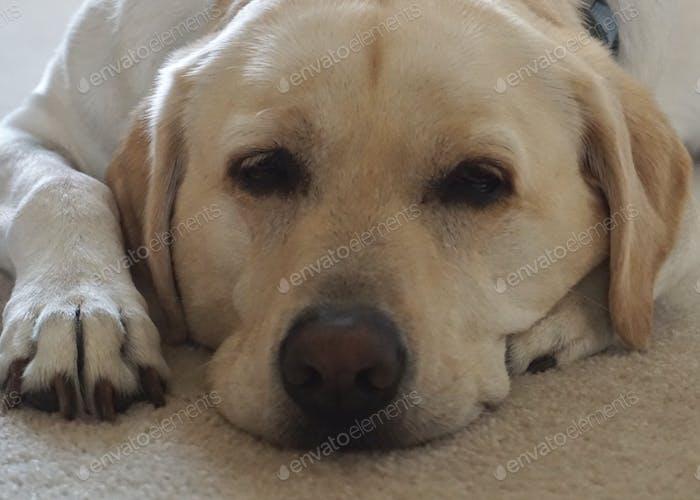 Closeup of a Yellow Lab falling asleep #AllAmericanDog Isolated alone sleepy bored cute doggy