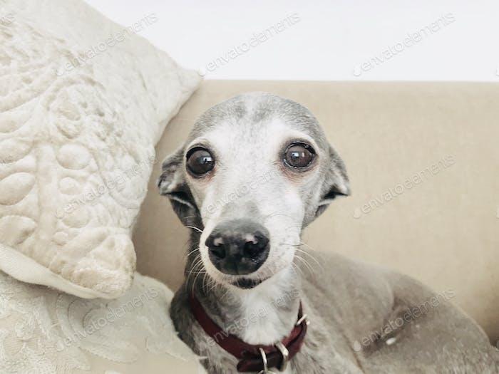 Cute Italian Greyhound sitting on a couch.