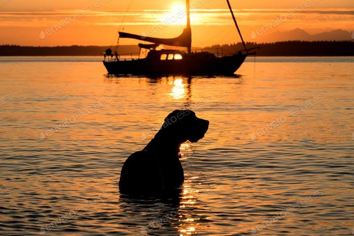 Doggy sunset swim end of summer with sailboat in Puget sound near Seattle.