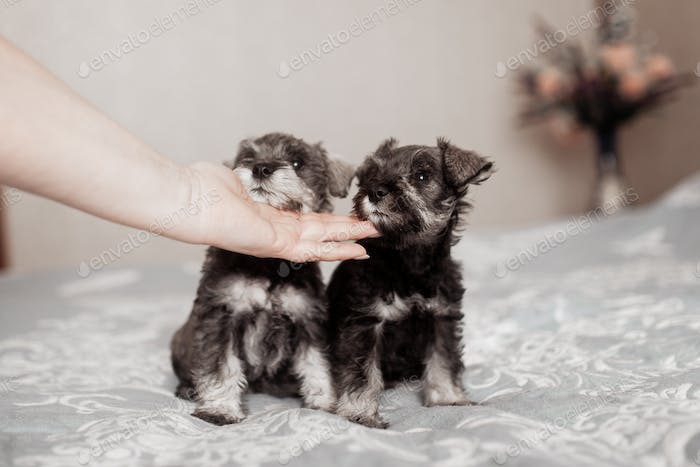 cute miniature schnauzer puppies sit on the bed
