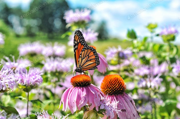 Monarch Butterfly on Coneflower Monarchs boy thousands of miles fluttering their pretty little