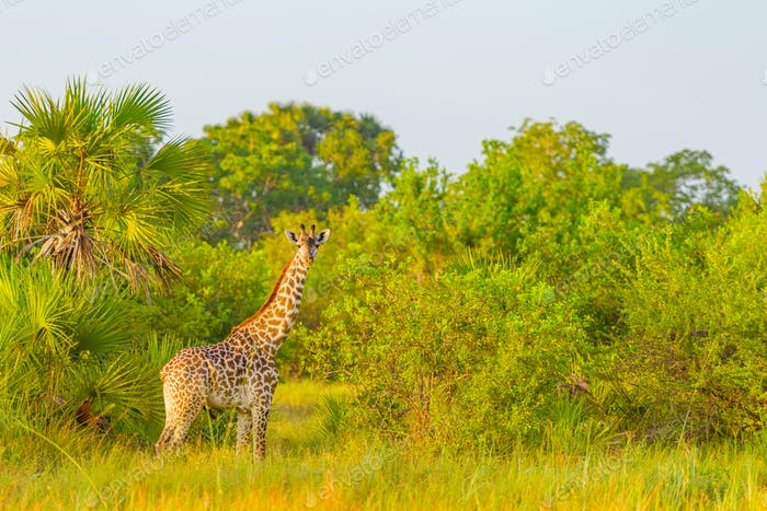 Giraffe im afrikanischen Safaripark