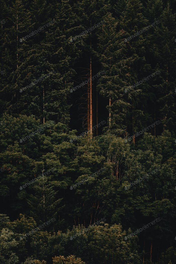 Forest trees from far
