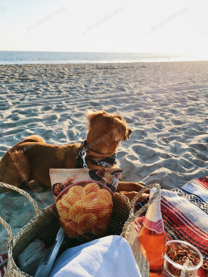 Picnic on the beach with basket and fruits on beach towel with dog lying down looking towards the wa