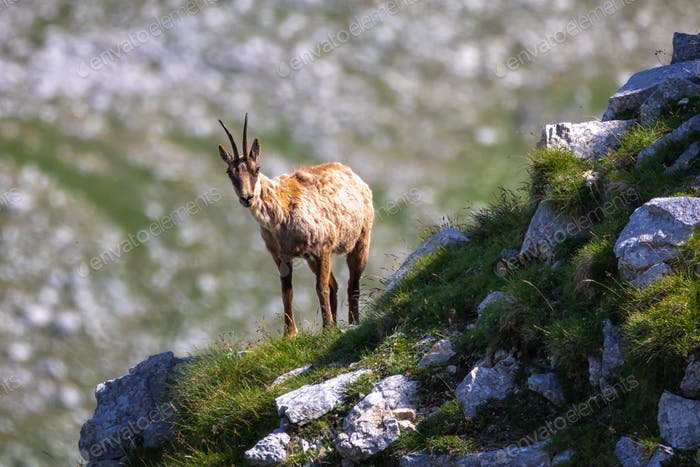 Wild chamois climbs rocks on the top of a mountain. Wild animal in nature.