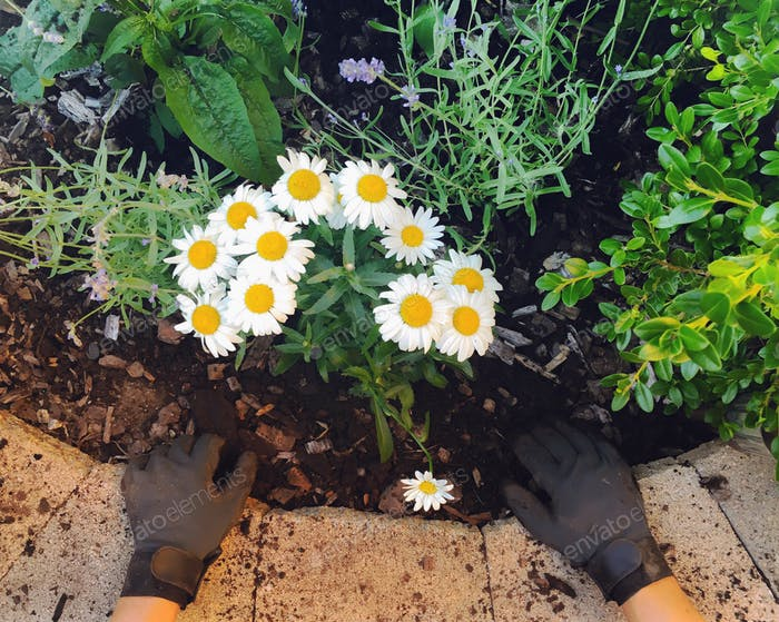 Blick nach unten auf handschuhte Hände pflanzen Gänseblümchen im Blumengarten.