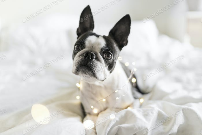 Boston Terrier in Christmas holiday lights