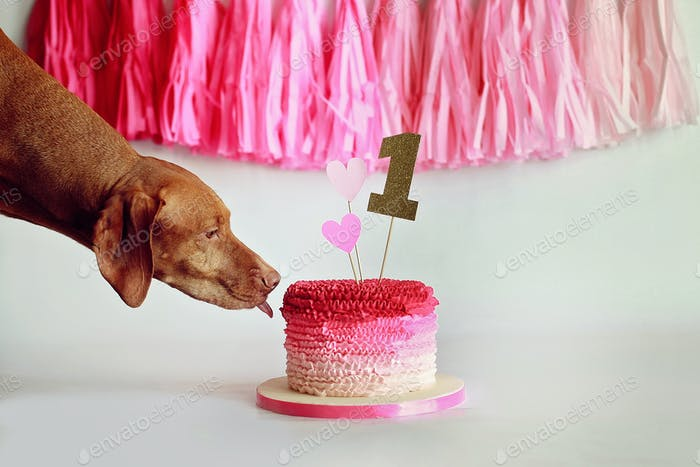 vizsla sneaking a lick of first birthday cake.