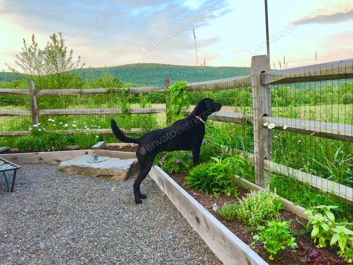 A loyal black lab protects her owner from wild animals in the field beyond the fence.