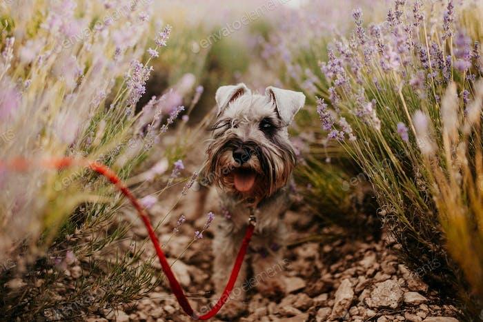 Cute dog miniature schnauzer at lavender field