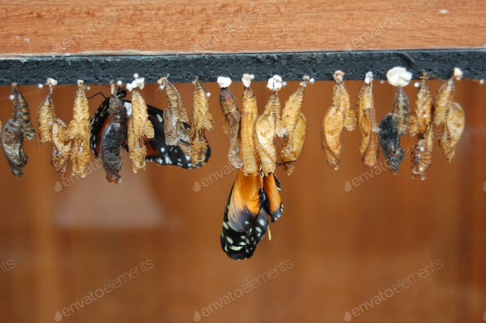Monarch butterfly pupae