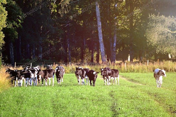 Herde von Rindern