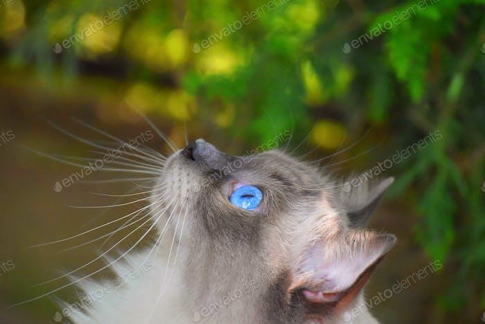 Blauäugige Ragdoll Katze, die einen Baum aufsucht. Erstaunliche Augen, pelzige Katze, verschwommener Hintergrund, Schnurrhaare.
