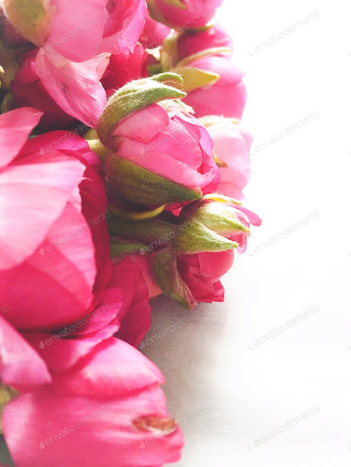 Backlit side view of hot pink ranunculus fresh flowers on a white background.