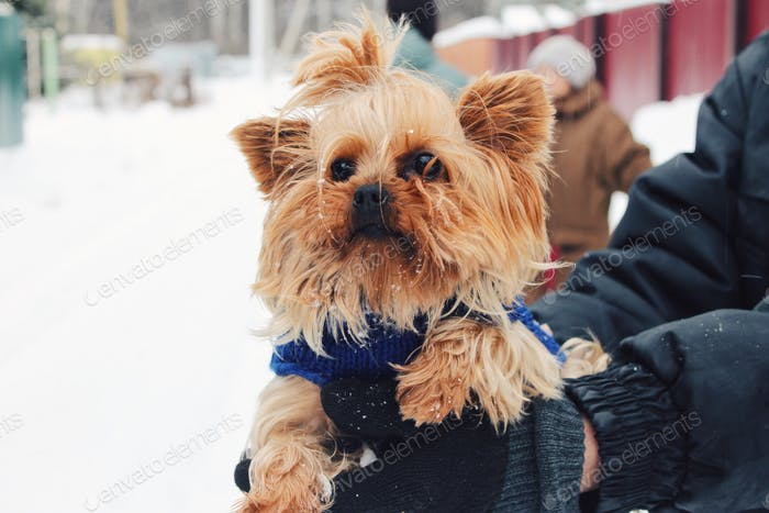 Yorkshire terrier on walk with the hostess in the winter