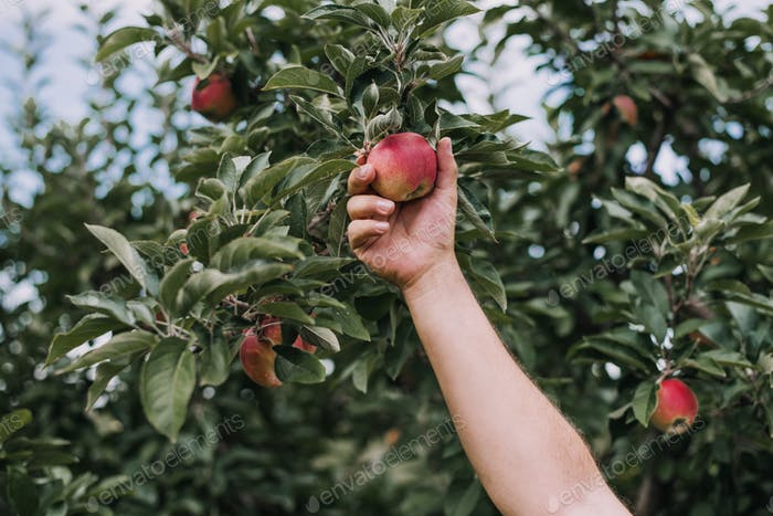 Hand picking apples from an apple tree