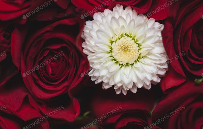 Chrysantheme und Rosen