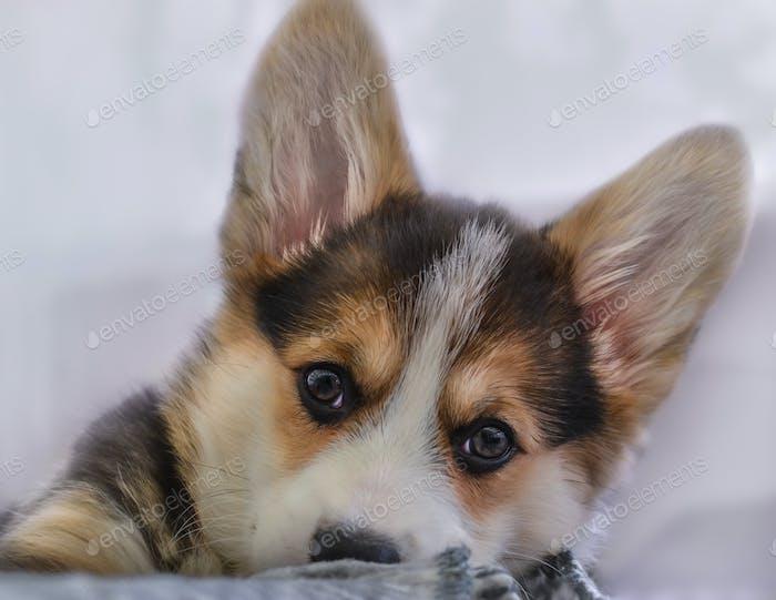 Cute Corgi pembroke puppy