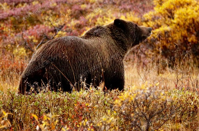 Smells like Snow, wild Grizzly (Brown Bear) at Denali in September.