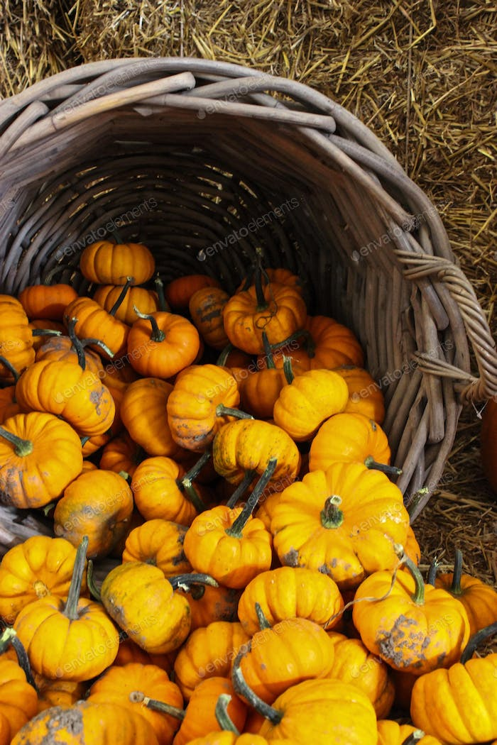 Yellow pumpkins falling out of a wooden basket