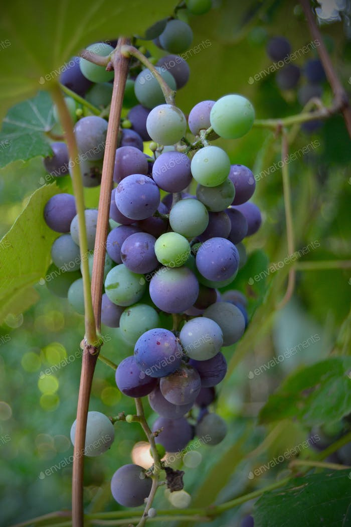 Grapes on a grape vine
