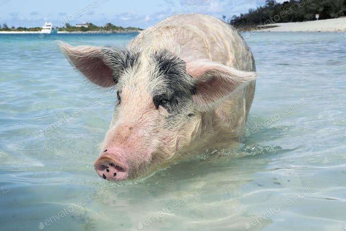Schwimmschweine der Bahamas