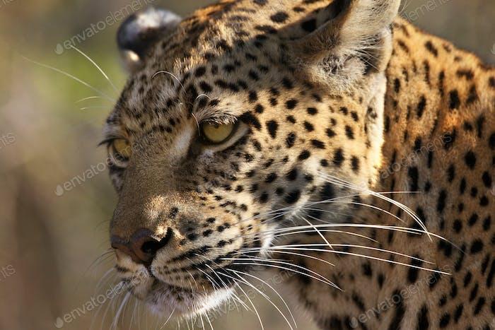 An adult female Leopard (Panthera pardus) in the Savuti area of Botswana