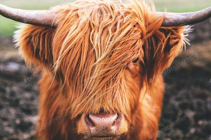Hochlandkuh in Schottland
