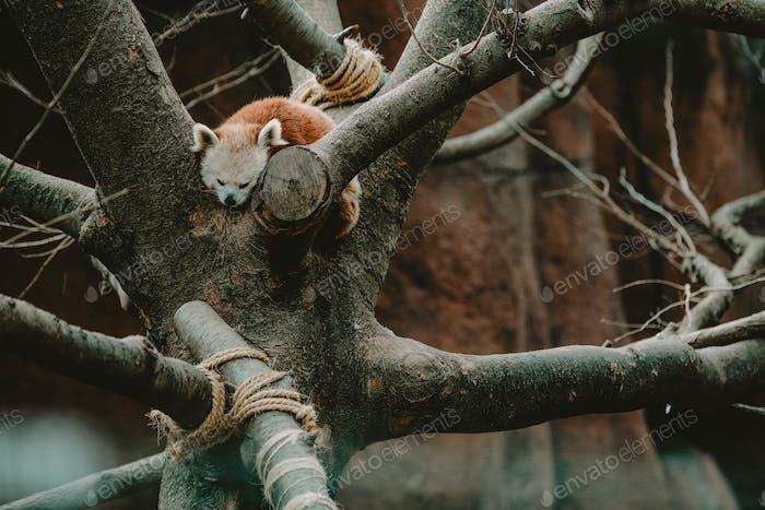An animal sleeping in a tree