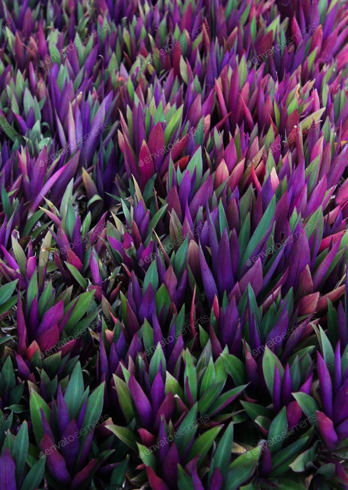 Purple leafy shrubs
