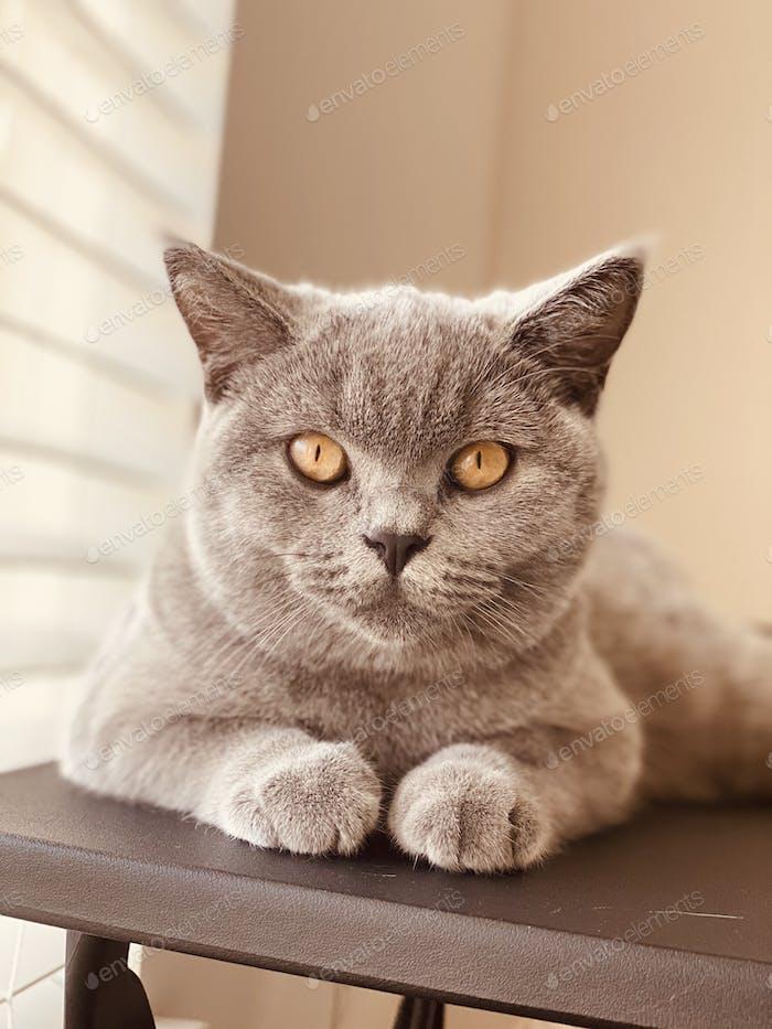 Cat British blue