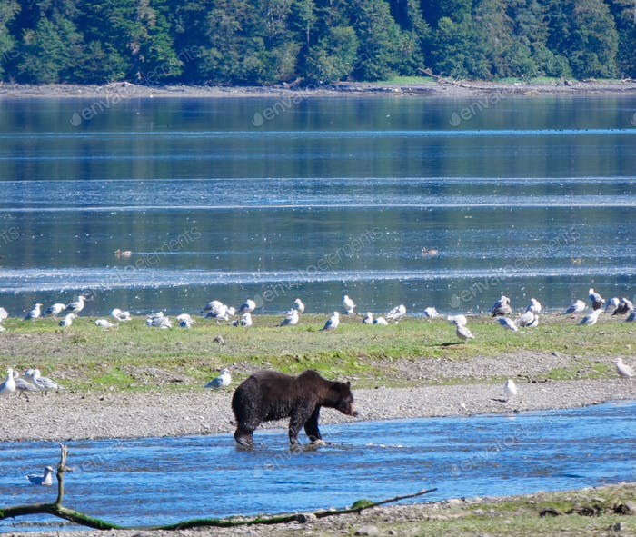 Grizzly bear walking along a creek on Admiralty Island in Alaska