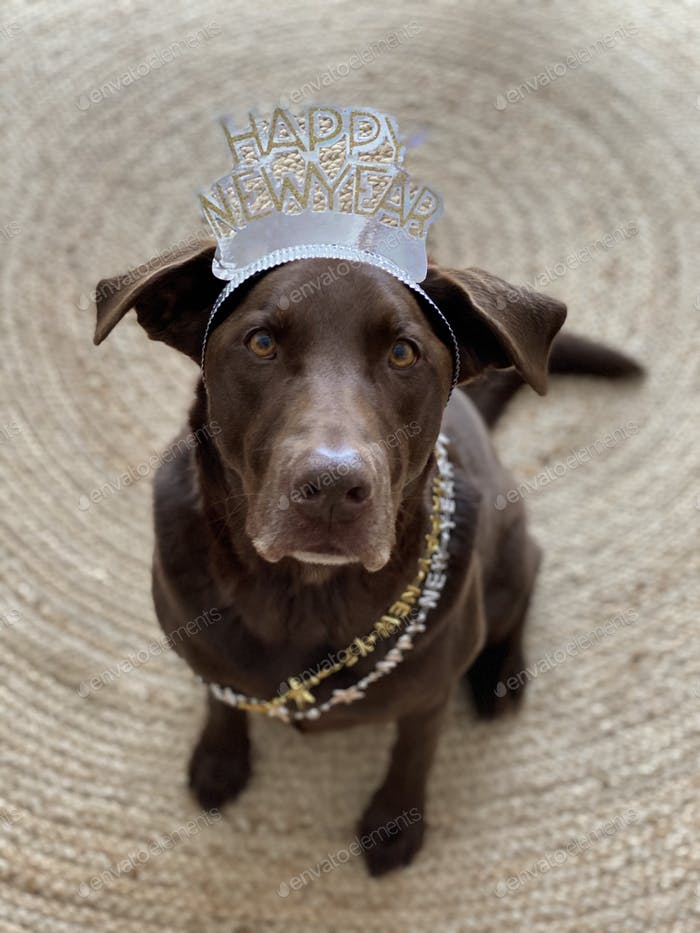 Chocolate lab saying happy new year
